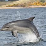 Breaching Dolphin - Alan Ward