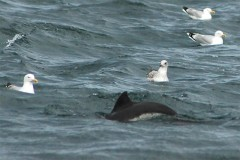 Porpoise and Gulls