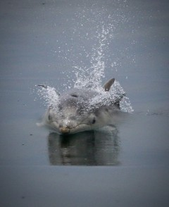 Calf at Speed